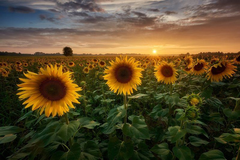 sunflowers, landscape, sunset Sunflowersphoto preview