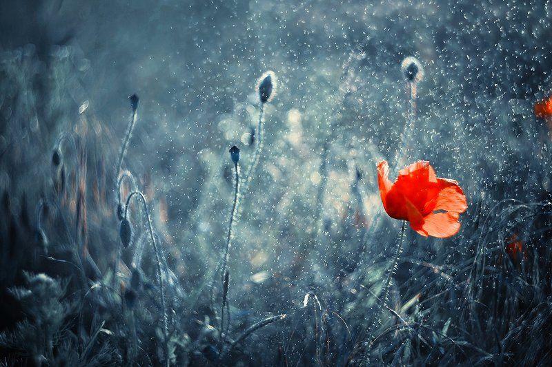single, flower, poppy, seed, red, macro, bokeh, helios, 77m-4, blue, magic, mak Single poppyphoto preview