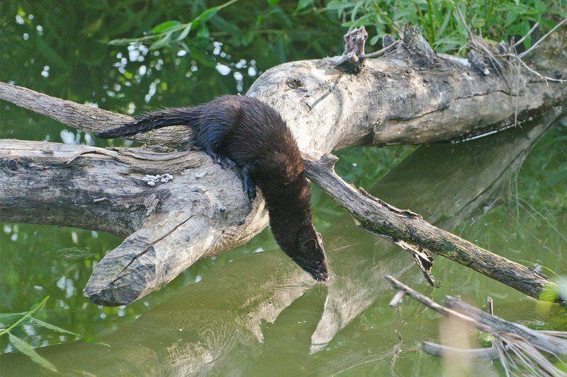 американская норка, хищник, водопой Хищник на водопоеphoto preview