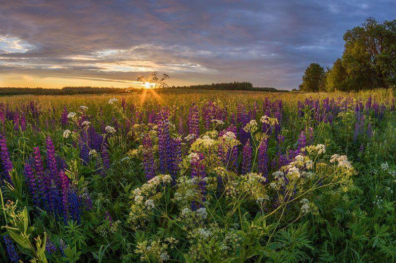 люпины цветы закат поле вечер солнце лето кружеваphoto preview