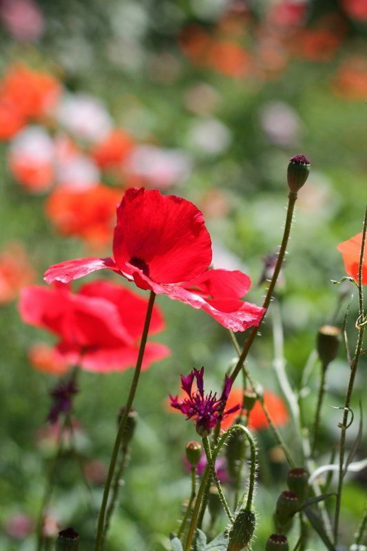 цветы, маки, лето Маковая серияphoto preview