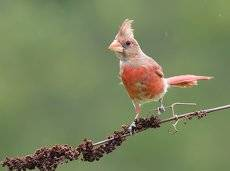 Красный кардинал - Northern Cardinal (Juvenile)
