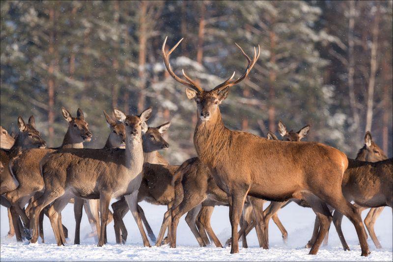 беларусь, красный бор, оленьи, cervus elaphus, зима, снег, фотоохота, real russian winter Красноборские сюжетыphoto preview