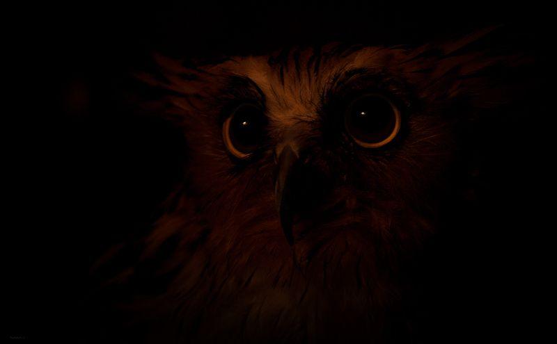 природа, животные, птицы, индонезия Ночная гостьяphoto preview