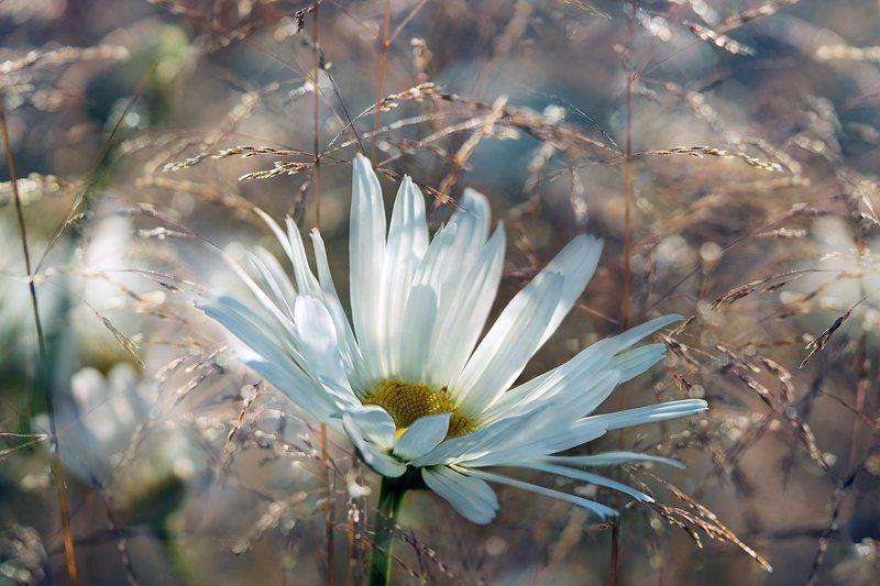 лето, ромашки, солнце, белый цветок Простушкаphoto preview