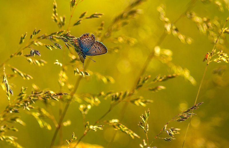 бабочки мотыльки лето голубянка о мотыльках )photo preview