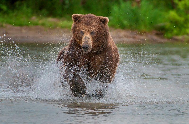 медведь \