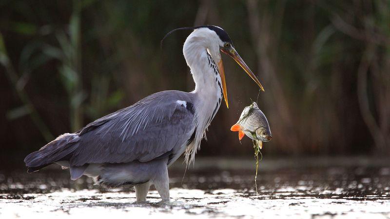 birds,nature,wildlife,grey heron,fish,fishing,rostov region,серая цапля,птицы,дикая природа,фауна,рыба,рыбалка, Oops !photo preview