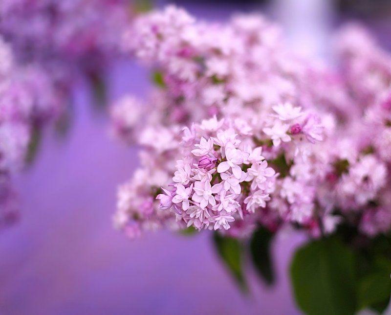 сирень, lilac Lilacphoto preview