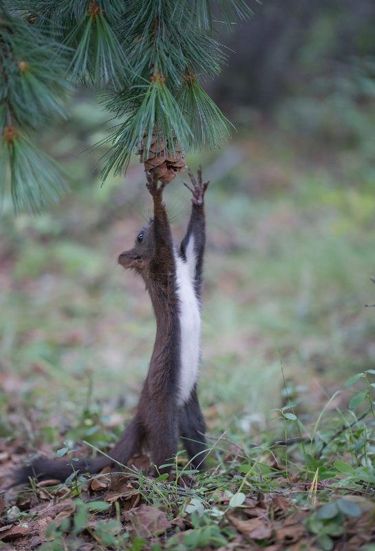 белка, якутия, нерюнгри, лес, шишка Чьи в лесу шишки?photo preview