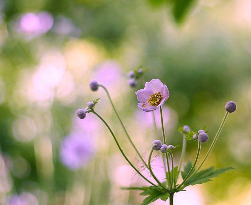 ветреница, anemone, flowers, цветы, лето, summer Anemonephoto preview