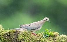 Кольчатая горлица - Dove