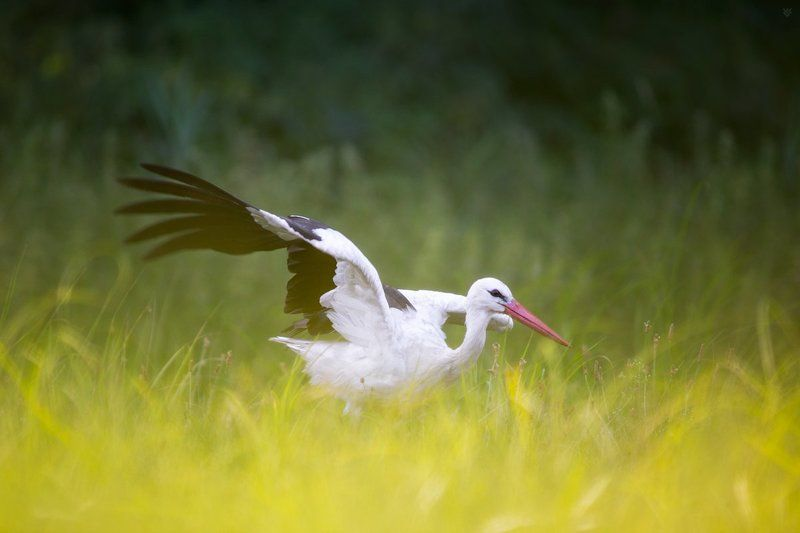 White stork, bird, wildlife, Белый аист White storkphoto preview