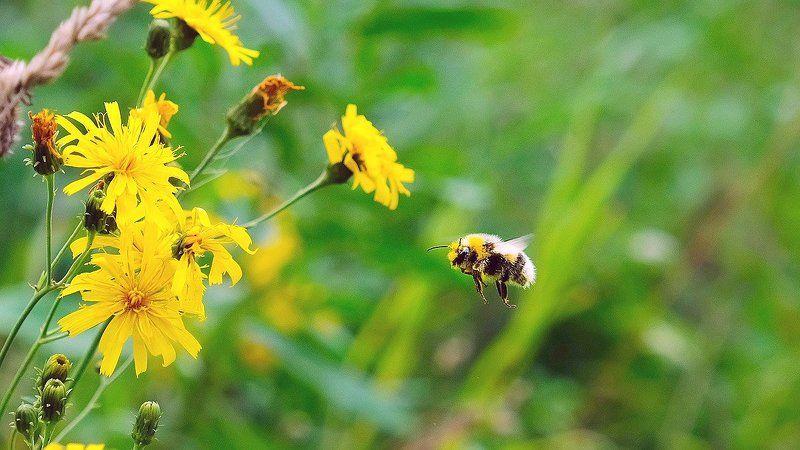 макро, лето, цветы, шмель полет шмеля. photo preview