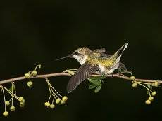 Колибри - Ruby-throated Hummingbird. Female.