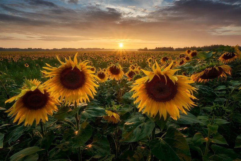 sunflowers, sunset, landscape Sunflowersphoto preview
