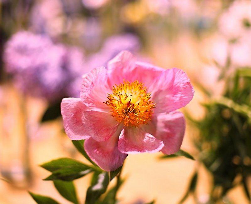 пионы, цветы, flowers, peonies, summer, лето Peoniesphoto preview