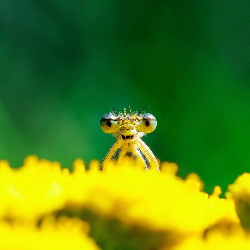 dragonfly, macro, nature Laughing pollenphoto preview