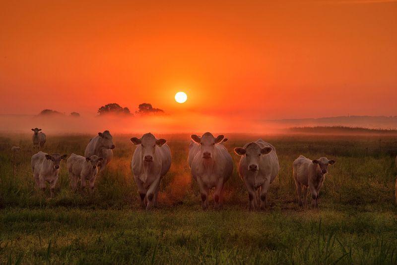 cows dawn cow foggy mist sun mist white корова grass fog orange Cows at dawnphoto preview