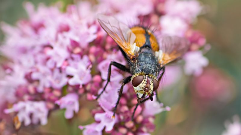 муха, жук, крылья, лист, хобот, свет, муравей, мошки, трава Цветочная мухаphoto preview