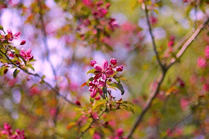 весна, spring, яблоня, apple Applephoto preview