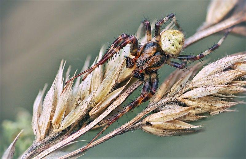 паук,лист,зелень,трава,свет,лапы Колючий и опасныйphoto preview