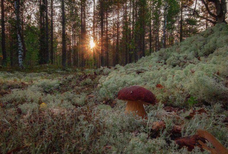 печора,коми,лес,гриб,солнце,закат Провожая Солнцеphoto preview