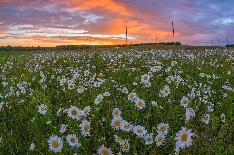 ромашки поле цветы вечер рассвет Ромашковая Русь )photo preview