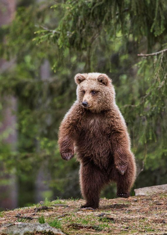 бурый медведь, медвежонок Раз, два - три притопа...photo preview