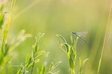 Стрекоза на траве