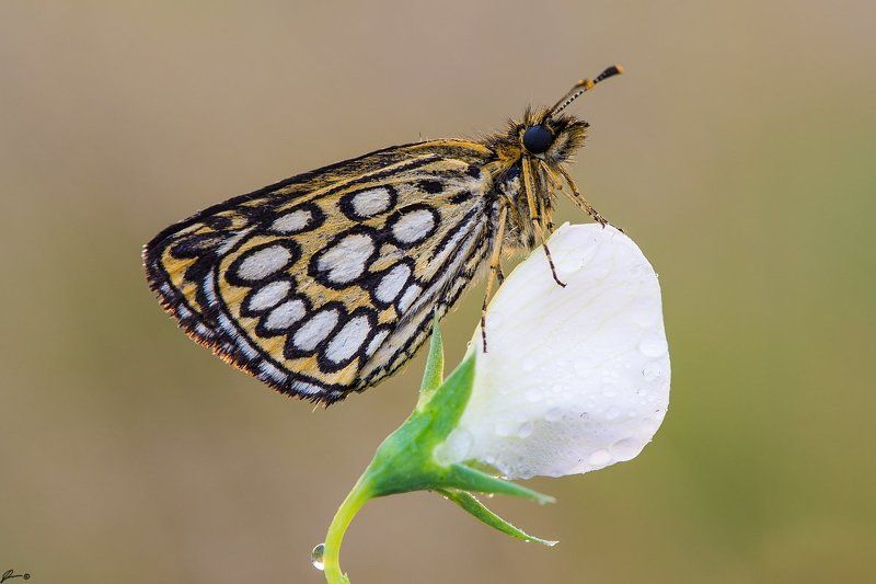 macro, makro, insect, butterfly, nature, wild Heteropterus morpheusphoto preview