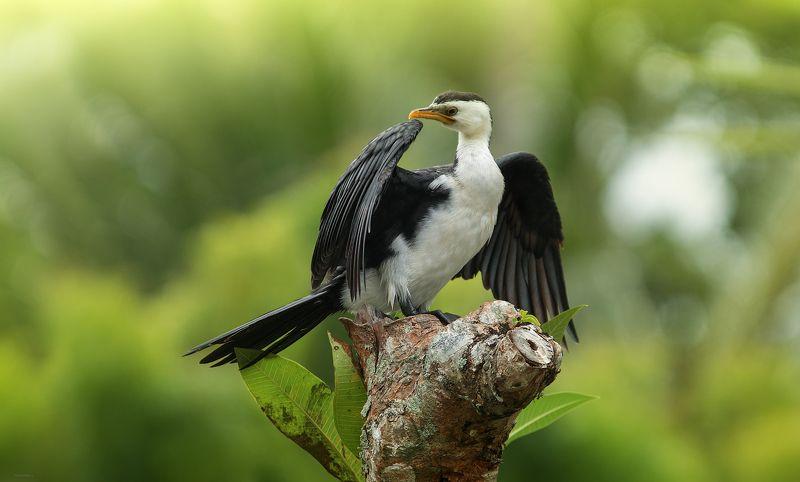 природа, животные, птицы, индонезия Ближе ..., не подходи ! :)photo preview