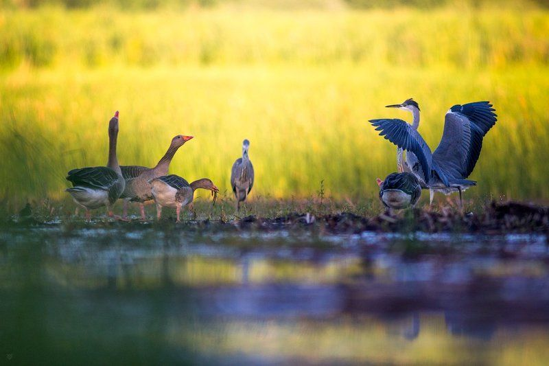 birds, wildlife, Ardea cinerea, Grey heron, Anser anser, Greylag goose Birds Matterphoto preview