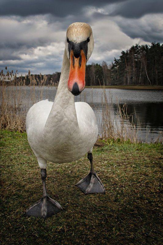 лебедь, агрессия, непогода, озеро, тучи Ты чьих будешь?photo preview