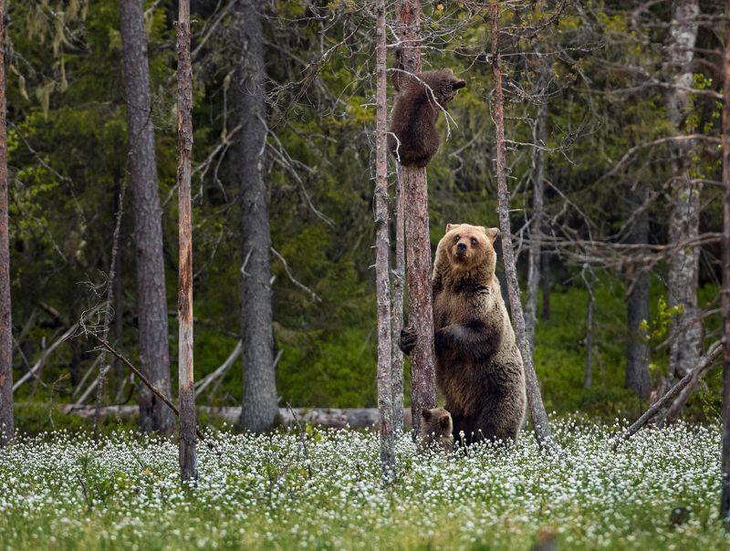 медведи, медвежата, медвежонок на дереве Я кому сказала слезай !photo preview