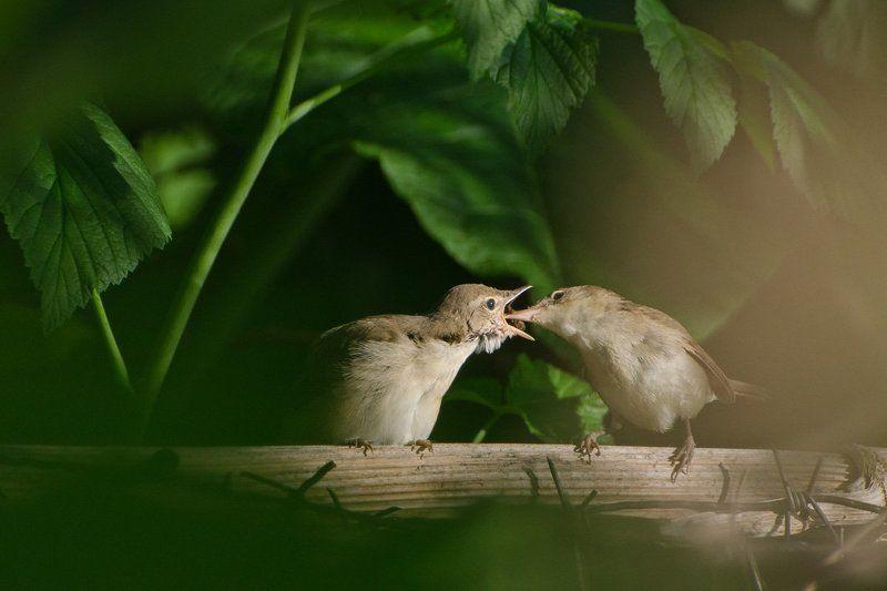 садовые камышовки, птицы Самая насущная заботаphoto preview