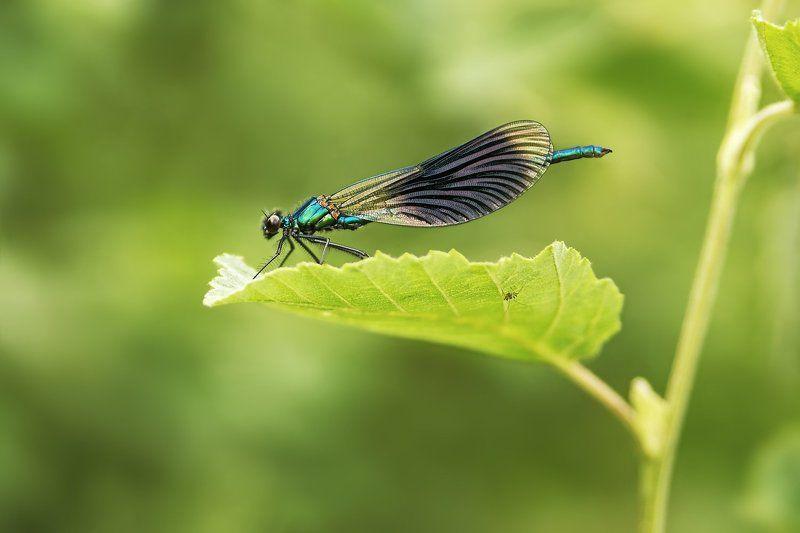 стрекоза, красотка-девушка, зеленая, лист, паук Спрятался паучокphoto preview