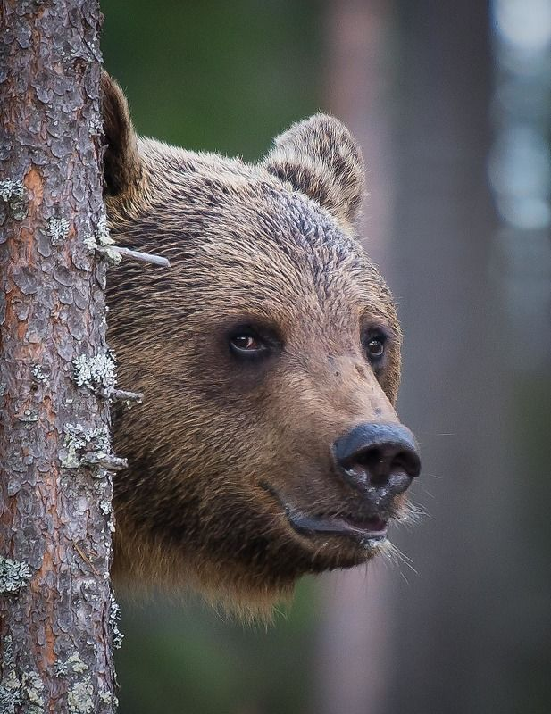 Bear, finland, kuhmo Beary bestphoto preview