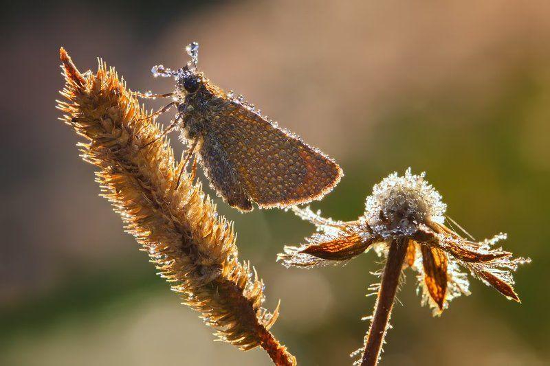 бабочка, насекомое, макро, утро, роса, цветы Утренняя композицияphoto preview