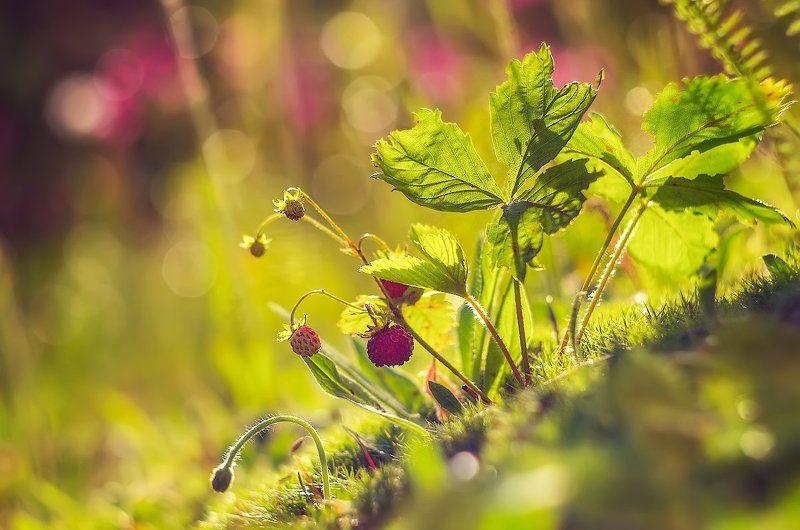 ягоды лето солнце земляника лес Вспоминая лето. Земляничка )photo preview