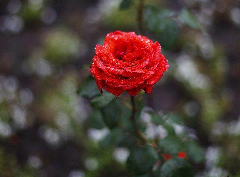 flowers, цветы, розы, rose, лето, summer Rosephoto preview