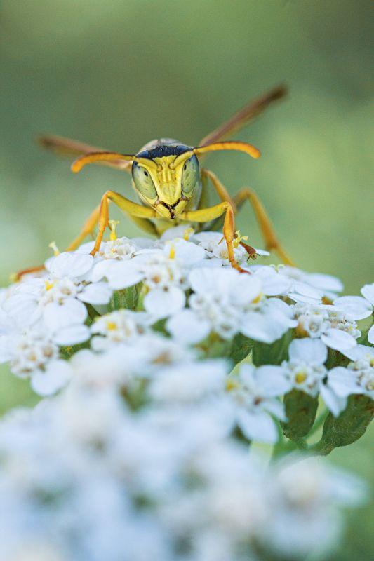 оса,лист,зелень,свет,крылья,цветок, Серьезный самурайphoto preview