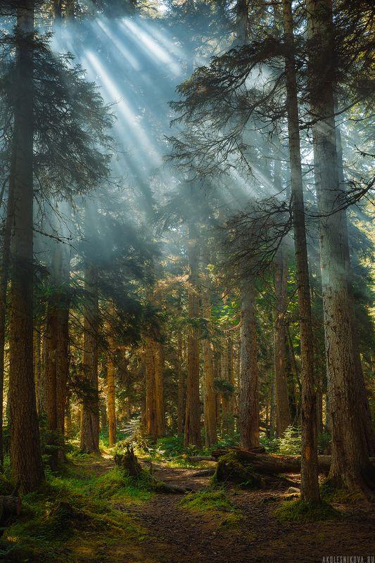природа, лес, путешествие, домбай, рассвет, пейзаж, лето, свет Утро в лесуphoto preview