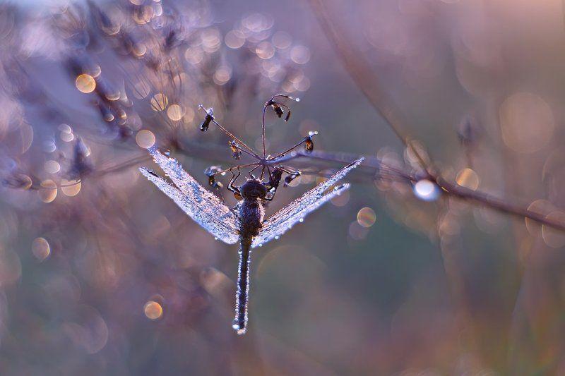 стрекоза, утро, роса, насекомое, природа, боке, petzval Стрекоза и утроphoto preview