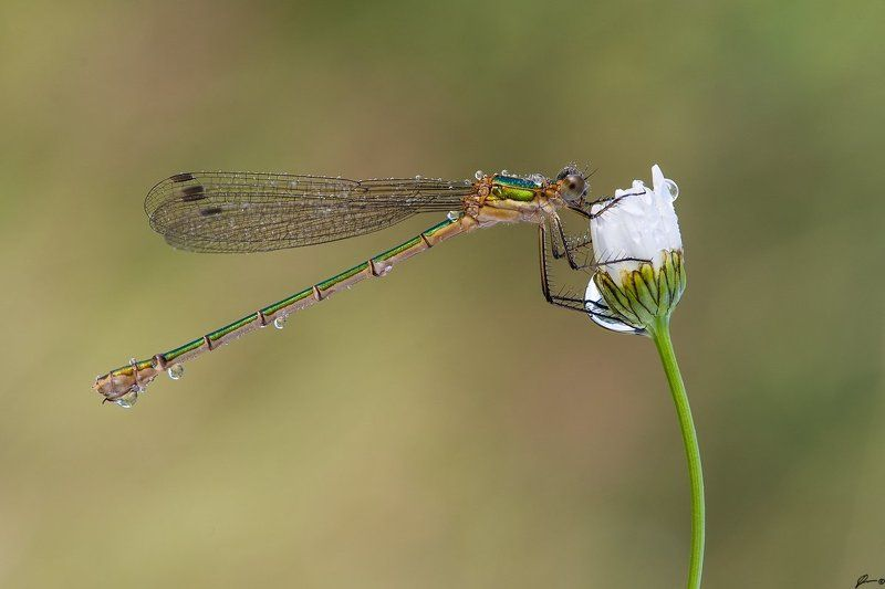 macro, makro, insect, nature, wild, dragonfly Lestes sponsaphoto preview