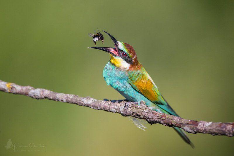 золотистая щурка, щурка, птица, bee eater, eater, bee, bumblebee, wildlife, bird Жонглерphoto preview