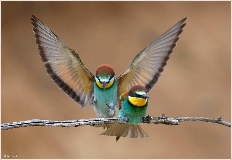 птицы,щурки,милый,прилетел Вот и милый прилетел )photo preview