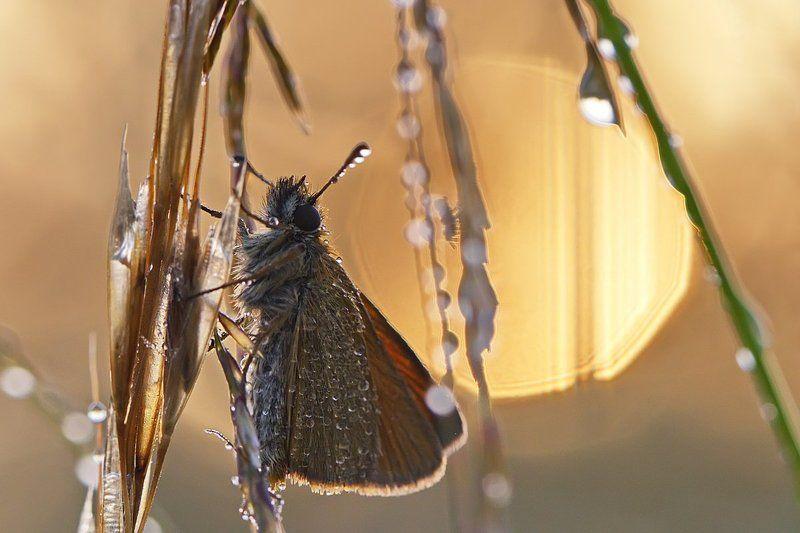 бабочка, насекомое, макро, утро, роса, природа Первый солнца лучphoto preview