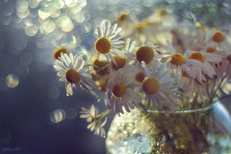 ромашки, макро, капли, боке Camomile dreamsphoto preview