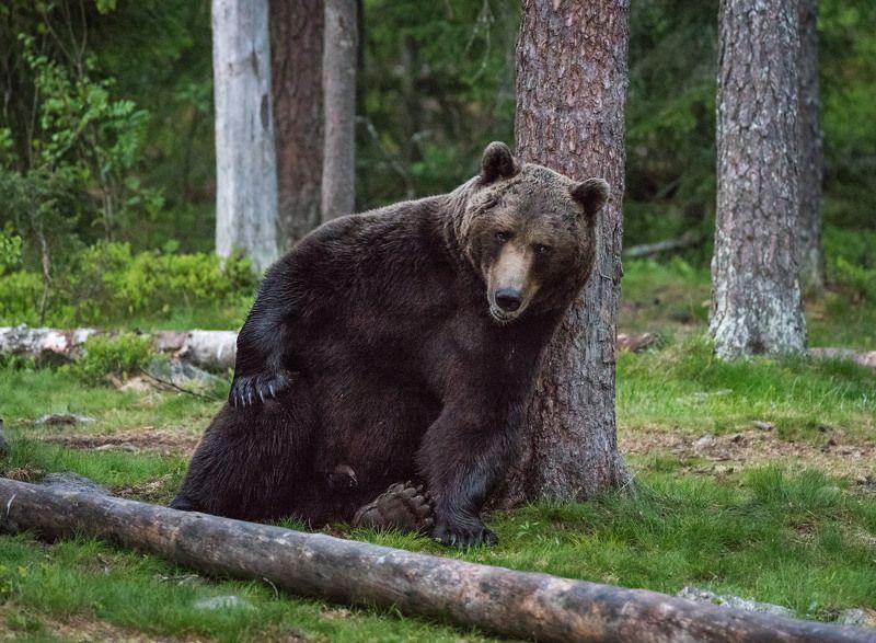 бурый медведь Что то я устамшиphoto preview